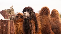 Close up photo of two camels heads. Animals in the zoo. Camels in a zoo cage