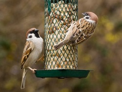 Close up photo of two eurasian tree sparrows on a feeder with peanuts