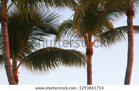 Close up photo of Two large Coconut palm trees lit up and filled with red and orange golden sunset light on the coast of Islamorada in the Florida Keys on the beach.