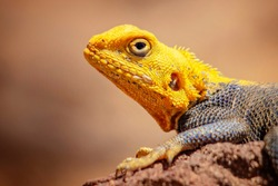 Close up photo of yellow and blue colored lizard, rock agama. It is wildlife photo of animal in Senegal, Africa. Agama posing on rock against blurred background. There is sunny day.