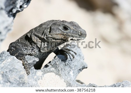 Close-up photo of young Iguana lizard, staring and observing the surrounding.