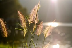 Close up photo with shallow depth of field of soft water plants back-lit by the golden light making it look pinkish color. Peaceful view.