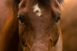 Close up photograph of a bay horses face and eyes along with its unique facial marking.