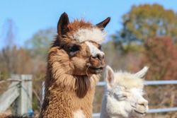 Close up photograph of brown and white alpacas. Selective focus on the head of the alpaca.
