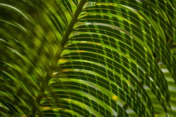close-up photograph of date palm leaves (Phoenix dactylifera)