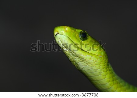 Close-up photograph of green mamba