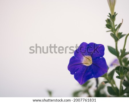Close up photograph with white background and copy space of the Ipomoea nil flower known as snowdrop, snowdrop, or snowdrop. Stok fotoğraf ©