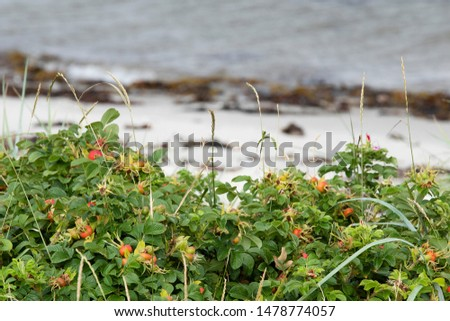 close up photography of rosehips in the summer at a scandinavian seashore, with the seashore blurred out #1478774057