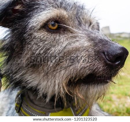 Close-up photography of Scottish Deerhound. #1201323520