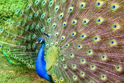 Close-up photography of the multiple eyes of the feathers of an indian peafowl (peacock) in full display. Captured at the Andean mountains of southern Colombia.