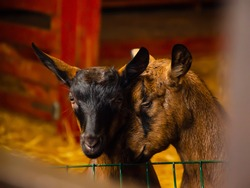 Close-up photos of goats with passion faces at the corral of farm. Lovely couple little black and brown goats. Love and affection. Shallow depth of field. Goat farm, animal feeding.
