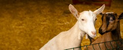 Close-up photos of goats with passion faces at the corral of farm. Lovely couple little white and brown goats. Love and affection. Shallow depth of field. Goat farm, animal feeding.
