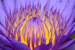 Close-up photos of lotus flowers in bright and beautiful colors in natural beauty.