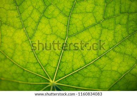 close up pic of a Nasturtium leaf