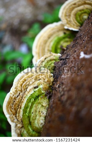 Close up picture beautiful Green and brown mushroom on the old wooden log. Group of Mushrooms growing in the Autumn . Mushroom photo, Group of beautiful mushrooms in the moss on a log.