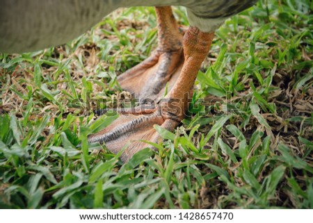 Close-up picture focus on the feet of a goose standing on the grassland