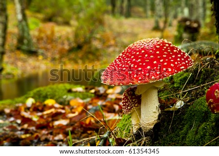 Close-up picture of a Amanita poisonous mushroom in nature