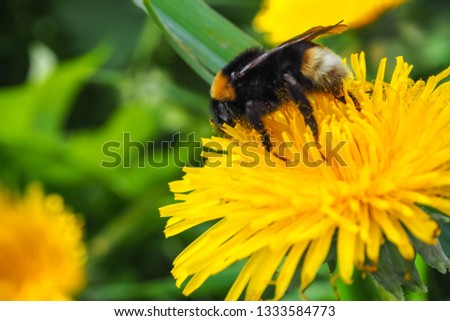 Close Up picture of a bee sucking pollen from yellow dandelion, A western honey on carpel of dandelion in the garden, Yellow flowers in the early morning light.