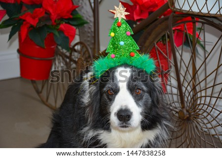 close up picture of a border collie waiting for Christmas wearing a Christmas tree hat