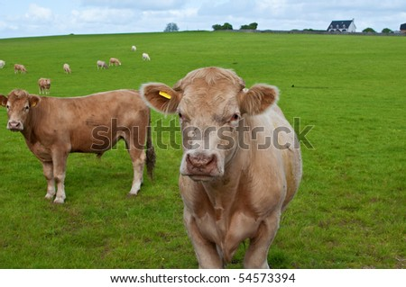 close up picture of a cow in green field