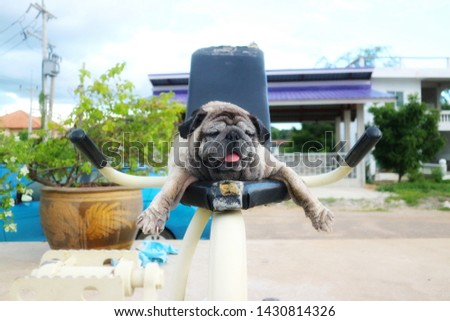 Close-up picture of a cute old Pug dog lying on an outdoor exercise machine