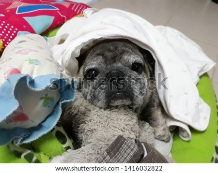 Close-up picture of a cute old Pug dog sleeping with a cold, lonely eye.