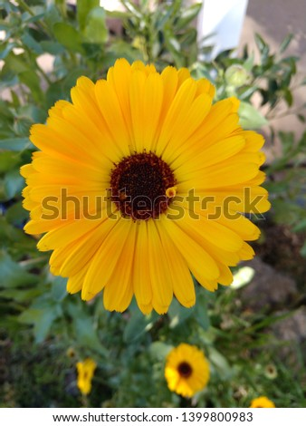 Close up picture of a fully bloomed yellow calendula flower. This is one of the kind of flowers that attracts ladybugs