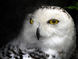 Close-up picture of a great snow owl bird