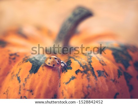 Close up picture of a ladybug (Harmonia axyridis) on a mini pumpkin. Side view. Wooden background. Warm colors.