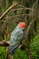 Close-up picture of a male grey gang-gang cockatoo (Callocephalon fimbriatum) with bright red head and crest in the wild in Australia
