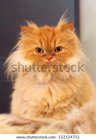 close up picture of a red persian cat