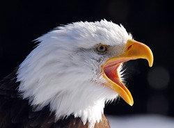 Close-up picture of a Screaming American Bald Eagle