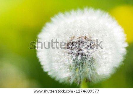 Close up picture of a single dandelion flower on green blurred background, macro, shallow depth of field