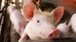 Close-up picture of a small piglets, In swine in the stall, in Thailand Farm.