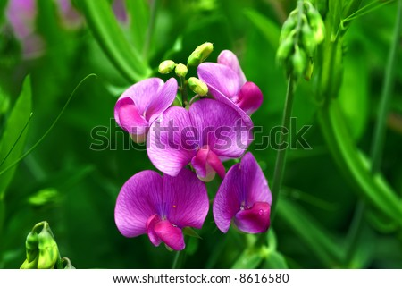 Close up picture of a sweet pea flower