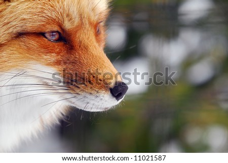 Close-up picture of a wild Red Fox