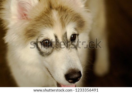Close up picture of a young black and white Siberian Husky dog that has black eyelid edge is sitting on the floor.