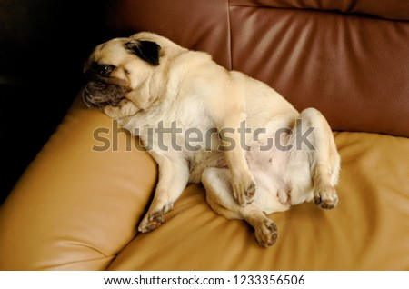 Close up picture of a young Pug dog is sleeping and relaxing on an armchair in living room
