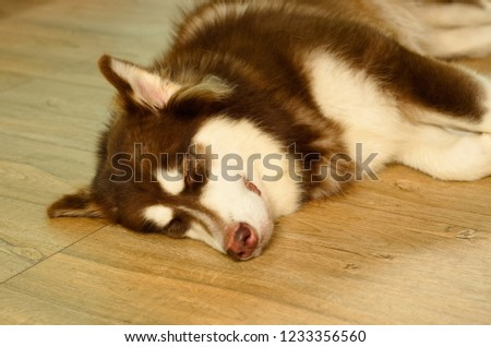 Close up picture of an adolescence brown and white Siberian Husky dog is laying down on the floor.