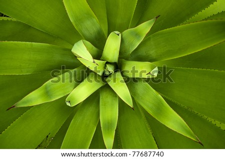 Close up picture of an Agave plant, overhead view