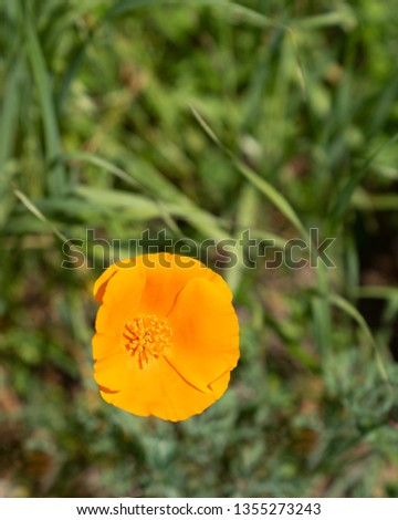 Close up picture of beautiful orange California Poppy in green grass in the middle of a field on a sunny day