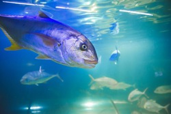 Close up picture of big silver fish in aquarium and blue background as underwater concept of wildlife and nature wallpaper background as memory card from vacation scuba diving activity