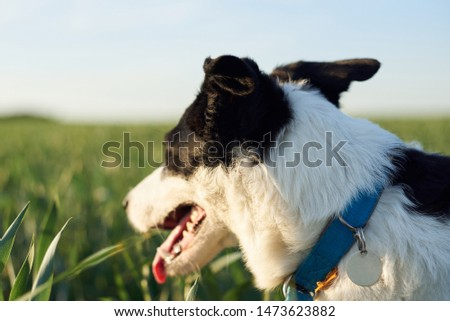 Close-up picture of black and white skinny dog with light blue collar. Small Border Colllie in the rye field with high green grass in summer. Walk with dog. I love my pet.
