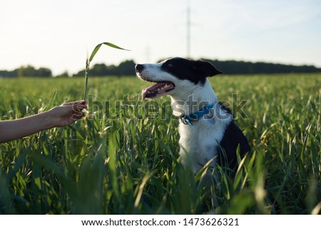 Close-up picture of black and white skinny dog with light blue collar. Small Border Colllie in the rye field with high green grass in summer. Master's hand, holding grass, playing with dog.