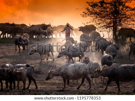 close up picture of buffaloes and farmer at the field with golden sky