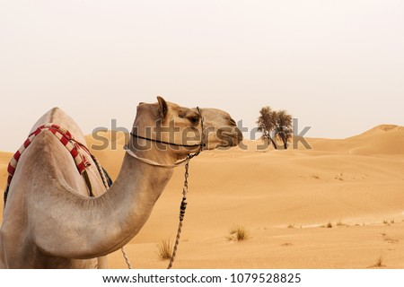 Close up picture of camel in a desert