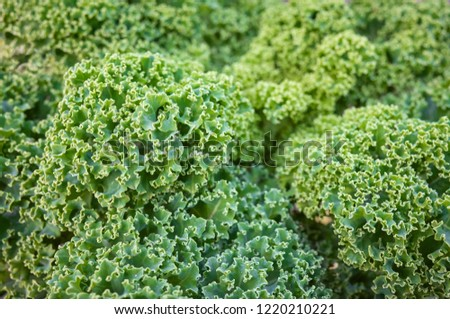 Close up picture of curly kale leaves on a field, selective focus.