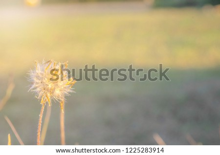 Close-up picture of dandelion garden The background is blurred the beauty of flower.Natural view Of the dandelion as  wallpaper or background.