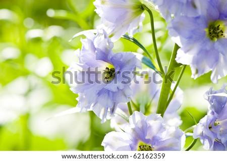 Close-up picture of Delphinium flowers, shallow DOF