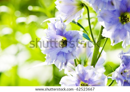 Close-up picture of Delphinium flowers, shallow DOF